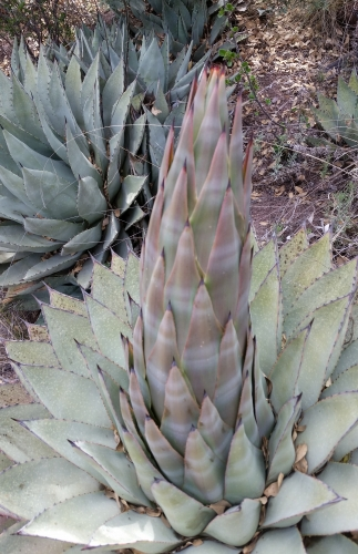 Agave Sprouting